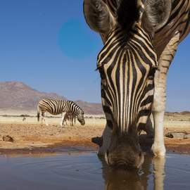 Puzzle 1000 A zebra drinks from a watering hole