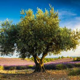 Puzzle 1000 Olive tree in Provence